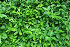 Φυτό φύλλων και των Μπους Στοκ Εικόνα
