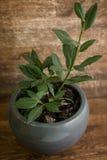 Φυτό φύλλων κόλπων στο δοχείο Στοκ Εικόνα