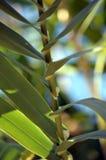 Φυτό φύλλων Στοκ Φωτογραφίες