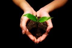 φυτό χεριών Στοκ Εικόνα