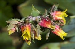 φυτό ψειρών προσβολής Στοκ Εικόνα