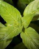 φυτό 01 πούρων starfire στοκ φωτογραφίες