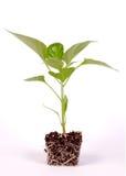 Φυτό 1 πιπεριών Στοκ Εικόνες
