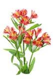 φυτό alstroemeria στοκ φωτογραφία με δικαίωμα ελεύθερης χρήσης