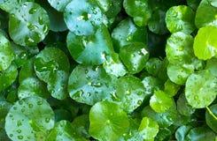 φυτό centella Στοκ εικόνες με δικαίωμα ελεύθερης χρήσης