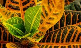 Φυτό Croton στην άνθιση, ζωηρόχρωμα φύλλα στοκ εικόνες