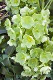 Φυτό Helleborus Στοκ Φωτογραφίες