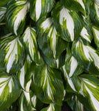 Φυτό Hosta Στοκ φωτογραφία με δικαίωμα ελεύθερης χρήσης