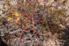 φυτό manzanita Στοκ φωτογραφία με δικαίωμα ελεύθερης χρήσης
