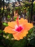 Φυτό Orance waterbdtop στο φύλλο στοκ φωτογραφίες