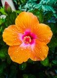 Φυτό Orance waterbdtop στο φύλλο στοκ εικόνες