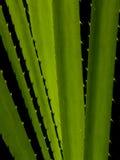 φυτό pandanus Στοκ Εικόνα
