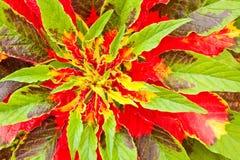 φυτό s Joseph παλτών Στοκ Φωτογραφία