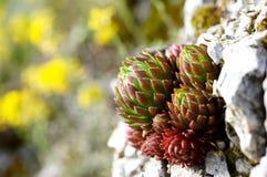 φυτό succulent στοκ φωτογραφίες με δικαίωμα ελεύθερης χρήσης