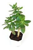 φυτό succulent Στοκ εικόνες με δικαίωμα ελεύθερης χρήσης
