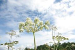 φυτό umbellate Στοκ Εικόνα