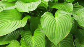 Φυτών ξενιστών διακοσμητικές για τον κήπο φιλμ μικρού μήκους