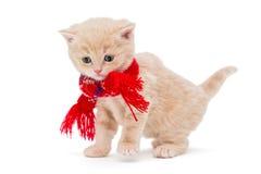 Φυλές Βρετανοί γατακιών σε ένα κόκκινο μαντίλι Στοκ φωτογραφίες με δικαίωμα ελεύθερης χρήσης
