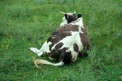 Φυλή 2 βοοειδές-αναπαραγωγής Χολστάιν Αγελάδα στο λιβάδι στοκ φωτογραφία