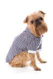 Φυλή Βρυξέλλες Griffon σκυλιών στο ελεγμένο πουκάμισο Στοκ εικόνα με δικαίωμα ελεύθερης χρήσης