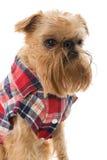 Φυλή Βρυξέλλες Griffon σκυλιών στο πουκάμισο φανέλας Στοκ εικόνα με δικαίωμα ελεύθερης χρήσης