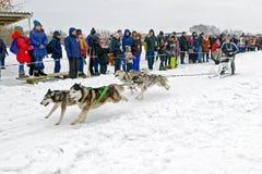 Φυλή σκυλιών ελκήθρων στο χιόνι στη χειμερινή ημέρα Στοκ εικόνα με δικαίωμα ελεύθερης χρήσης