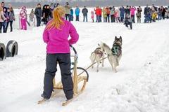 Φυλή σκυλιών ελκήθρων στο χιόνι στη χειμερινή ημέρα Στοκ Φωτογραφίες