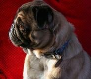 Φυλή σκυλιών μαλαγμένου πηλού Στοκ φωτογραφία με δικαίωμα ελεύθερης χρήσης