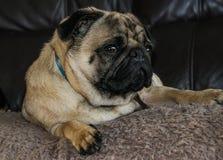 Φυλή σκυλιών μαλαγμένου πηλού Στοκ φωτογραφίες με δικαίωμα ελεύθερης χρήσης