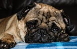 Φυλή σκυλιών μαλαγμένου πηλού Στοκ εικόνες με δικαίωμα ελεύθερης χρήσης