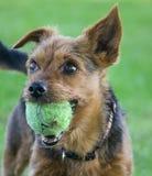 Φυλή σκυλιών τεριέ του Γιορκσάιρ Στοκ Εικόνες