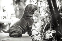 Φυλή σκυλιών της Shar Pei Στοκ Εικόνα