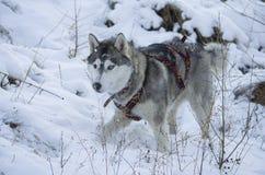 Φυλή σκυλιών Στοκ Φωτογραφία