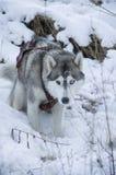 Φυλή σκυλιών Στοκ Εικόνες