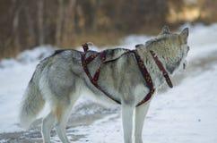 Φυλή σκυλιών Στοκ φωτογραφίες με δικαίωμα ελεύθερης χρήσης