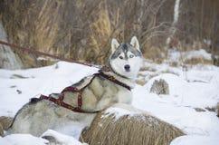 Φυλή σκυλιών Στοκ φωτογραφία με δικαίωμα ελεύθερης χρήσης