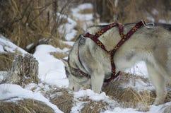 Φυλή σκυλιών Στοκ Φωτογραφίες