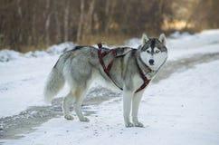 Φυλή σκυλιών Στοκ Εικόνα