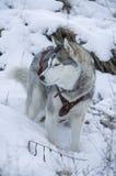 Φυλή σκυλιών Στοκ εικόνα με δικαίωμα ελεύθερης χρήσης