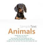 Φυλή σκυλιών dachshund Στοκ Εικόνες