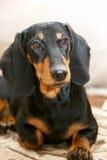 Φυλή σκυλιών dachshund Στοκ εικόνες με δικαίωμα ελεύθερης χρήσης