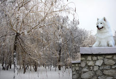 Φυλή σκυλιών Samoyed το χειμώνα Στοκ Εικόνες