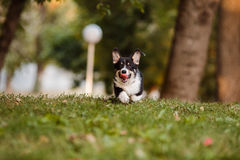 Φυλή Corgi σκυλιών στη χλόη στοκ φωτογραφίες