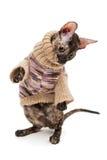 Φυλή Cornish Rex γατών στο πουλόβερ Στοκ Εικόνες