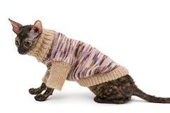 Φυλή Cornish Rex γατών στο πουλόβερ Στοκ Εικόνα