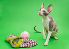Φυλή Cornish Rex και πλέξιμο γατών Στοκ φωτογραφία με δικαίωμα ελεύθερης χρήσης