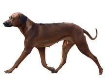 Φυλή Rhodesian Ridgeback σκυλιών στην κίνηση που απομονώνεται στοκ φωτογραφίες