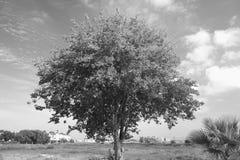 Φυλλώδες δέντρο στους τροπικούς κύκλους Στοκ Φωτογραφία