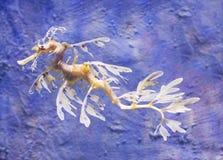 φυλλώδης θάλασσα δράκων Στοκ Φωτογραφία