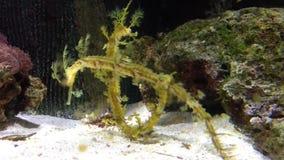 Φυλλώδης δράκος θάλασσας απόθεμα βίντεο